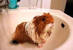 Guinea Pig Sounds and What they Mean