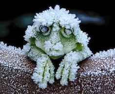 The Alaskan tree frog freezes solid during the winter including stopping it's heart and then thaws in the spring and hops away!