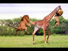 Only Mother Giraffe Have Strengths To Protect Her Babies From Lion's Mauling