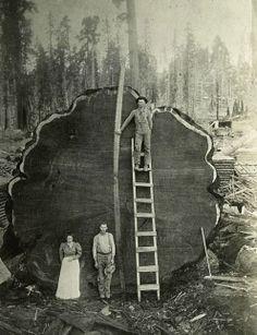 Mammut Tree, Sequoia National Park, California, USA 1892 #photography vintage