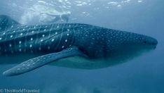 Biggest fish in the sea Maldives Vacation, Visit Maldives, Maldives Resort, Underwater House, Underwater World, Photography Guide, Travel Photography, Maldives Water Villa, Blogging Camera