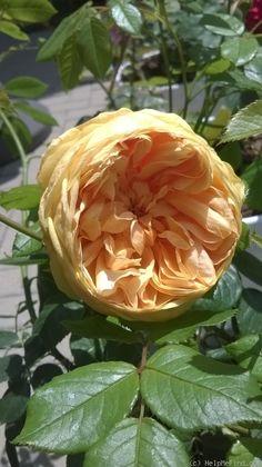 "Rose "" Carolyn Knight "" , (Austurner) , bred by David C. H. Austin (United Kingdom, before 2013)"