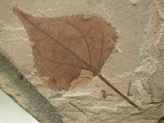 Poplar Plant Fossil  from Green River Formation   Eocene  Populus willmattae (Poplar)  Family Salicaceae  Uintah County, Utah