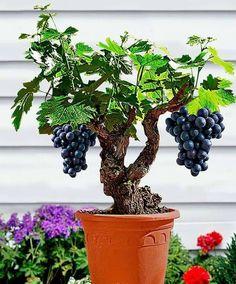 Mata de uvas en maceta