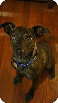 Maumelle, AR - Feist. Meet Timber - *** / 2014, a dog for adoption. http://www.adoptapet.com/pet/12319063-maumelle-arkansas-feist