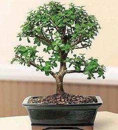 Dwarf Jade Bonsai #Arbolespequeños Buy Bonsai Tree, Bonsai Trees For Sale, Bonsai Tree Types, Indoor Bonsai Tree, Indoor Trees, Indoor Plants, Indoor Garden, Outdoor Gardens, Jade Bonsai