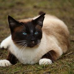 Traditional Siamese Cat: Personality, Care And Training Siamese Cat Breeders, Siamese Cats, Fascinating Facts, Cat Colors, Fun Facts, Personality, Training, Chart, Traditional