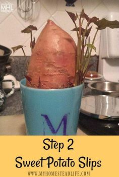Hydroponic Gardening Ideas How to grow sweet potatoes - How to grow sweet potatoes in 5 easy steps. Growing this nutrient-dense food is easier than you think. You can grow sweet potatoes to eat or as a plant.