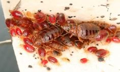 13 Best Bed Bugs Images Bed Bugs Insects Bed Bugs Treatment
