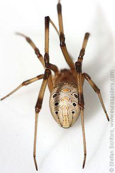 Brown Widow Spider (Latrodectus geometricus).