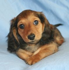 """Shaded red long hair dachshund...reminds me of """"Chunk"""""""