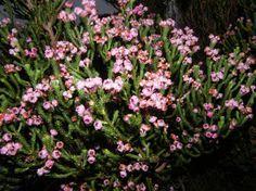 Flores de la planta Erica Baccans