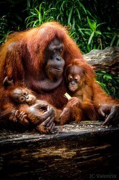 Orangutan with twins - Family Affair - by JC Valencia