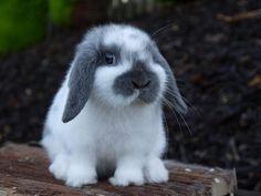 Mini Lop Rabbits Hind Legs | blue bfly buck