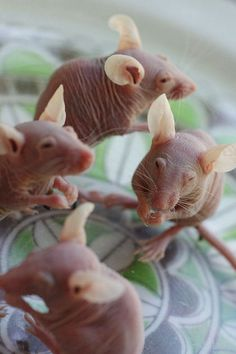 Hairless Rats They look like they are made of milk choclad!