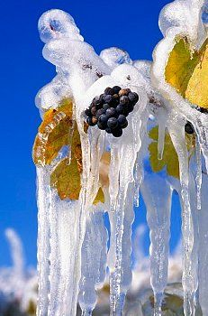 Frozen Grapes for Ice Wine Harvest Ice Covered Red Grapes hanging on Vine, ready to be picked for Ice Wine Harvest, South Okanagan Valley, BC, British Columbia