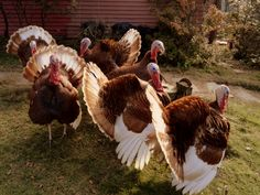 The Bourbon Red Turkey is becoming one of the most popular heritage turkey breeds. This breed has large breasts and a richly flavored meat. Peru, Bourbon Red Turkey, Baby Turkey, Turkey Farm, Turkey Hill, Thanksgiving Turkey, Bronze Turkey, Turkey Breeds, Turkey History