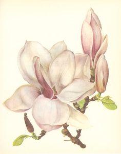 Vintage Flower Print Magnolia Botanical by MarcadeVintagePrints, €10.60