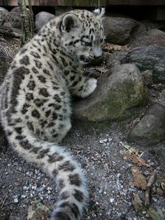 Update I (Jonatan Borling) am currently working on a book on the snow leopard together with the Swedish photographer and author Jan Fleischm. Ilyan the snow leopard cub Big Cats, Cats And Kittens, Cute Cats, Baby Leopard, Snow Leopard Cubs, Baby In Snow, Clouded Leopard, Most Beautiful Animals, Cute Baby Animals