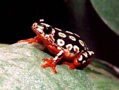 Painted Reed Frog by Don Wells