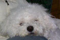 My Chloe (Bichon Frise)