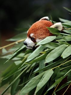 Red panda: unlike their giant panda cousins, these pandas have a more varied appetite and will eat much more than merely bamboo. However, a single red panda may still consume over bamboo leaves each day! Nature Animals, Animals And Pets, Baby Animals, Funny Animals, Cute Animals, Nature Nature, Wild Nature, Beautiful Creatures, Animals Beautiful