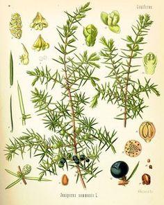 Genévrier (Juniperus communis)