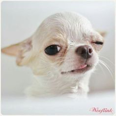 Image result for funny chihuahua love