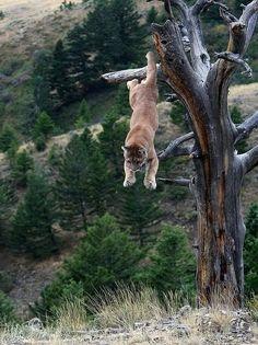 Mountain lion (aka Puma). #BigCatFamily