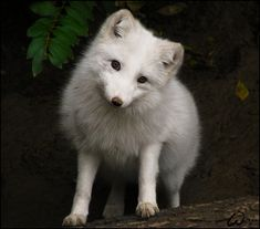 redwingjohnny:  Arctic fox, casting for Disney by *woxys *PLEASE VISIT~~ http://www.savethearctic.org  please help stop the oil companies from drilling in the arctic.