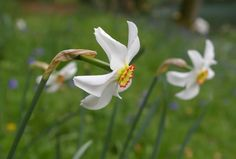 Narcissus poeticus 'Recurvus': Pheasant's eye scented daffodil