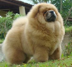Chow-Chow all groomed up and no place to go!!