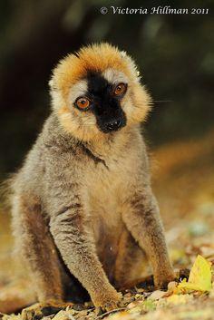 Red fronted brown lemur, Berenty Reserve, Madagascar by © Victoria Hillman, via Flickr.com