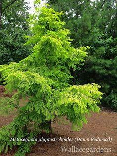 Dawn Redwood, deciduous conifer.