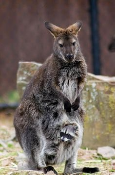 Funny Kangaroos And Little Baby