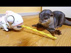 カメレオンvsカワウソビンゴ&ベル/Chameleon VS otter Bingo&Belle - YouTube Chameleon, Otters, Bingo, Youtube, Animals, Animais, Animales, Otter, Animaux