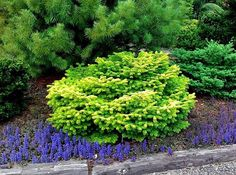 Rich, bright yellow needles in sun, soft yellow-green if in shade. Prefers sun/partial shade in well-drained soil. Plants, Evergreen Landscape, Conifers Garden, Evergreen Landscape Front Yard, Conifers, Dwarf Evergreen Shrubs, Miniature Plants, Fairy Garden Plants, Dwarf Conifers