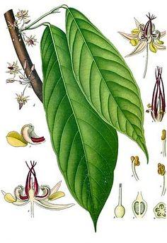 """Résultat de recherche d'images pour """"cacao arbre"""""""