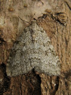 WK 33 - we had 26 moths in the trap with 1 new to me..... November moth agg.