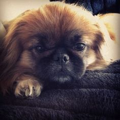 """Click visit site and Check out Best """"Pekingeses"""" T-shirts. This website is top-notch. Tip: You can search """"your name"""" or """"your favorite shirts"""" at search bar on the top."""