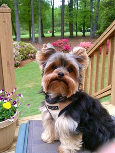 Yorkie w/beautiful coat