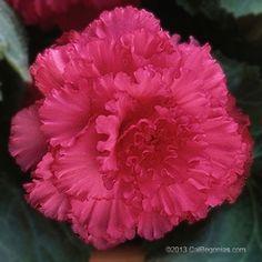 Ruffled-Rose-Close-up