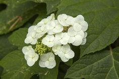 10 Popular Types of Hydrangeas - Growing Tips & Photos | Green and Vibrant Hydrangea, Shade Plants, Types Of Hydrangeas, Partial Shade Plants, Big Flowers, Hydrangea Macrophylla, Panicle Hydrangea, Showy Flowers, Japan Flower