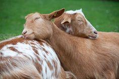 Caprette che si abbracciato animals love cute