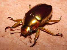 "b33tl3b0y: "" old yet gold? no way man my beetle sons don't live that long """