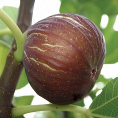Figs - they have the highest amount of calcium of any fruit! They also have iron, magnesium, potassium, B vitamins, vitamin K & lots of fiber. Also, fig leaves can kill cancer cells! What an amazing fruit