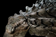 Some 110 million years ago, this armored plant-eater lumbered through what is now western Canada, until a flooded river swept it into open sea. The dinosaur's undersea burial preserved its armor in exquisite detail. | photograph by Robert Clark, National Geographic