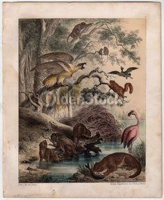 Wild Badgers Beavers Flamingo & Birds Nature Scene Antique Graphic Art Engraving Print 1863