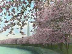 Cherry Blossom trees at the Tidal Basin in Washington, D.C.