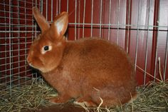 New Zealand red rabbits is a rabbit breed, which despite the name, is American… New Zealand Rabbits, Animals And Pets, Cute Animals, House Rabbit Society, Rabbit Breeds, Raising Rabbits, Pet Rabbit, Weird Creatures, Livestock